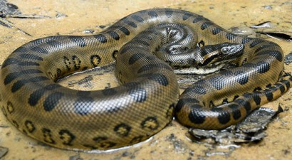 Do you know what was the biggest snake in history? (Video)
